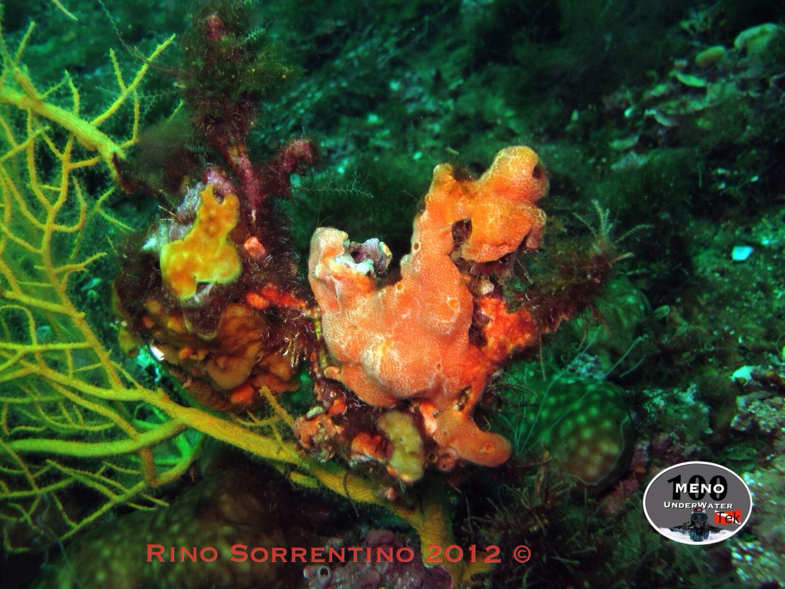 coralli4
