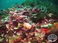 coralli 5