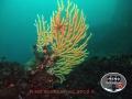 coralli1