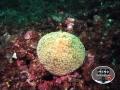 coralli3
